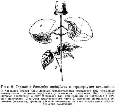 Горшок с Phaseolus multiflorus